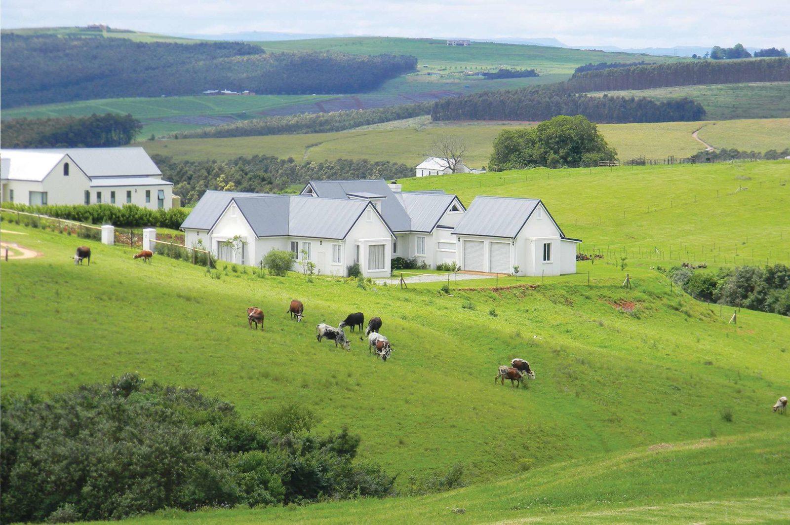 Nguni cattle roaming the Estate